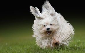 Picture grass, wool, running, The Havanese