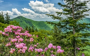 Picture flowers, mountains, USA, North Carolina, Blue Ridge Parkway, rhododendrons