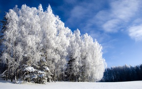 Picture winter, forest, the sky, blue, cold, Winter is beautiful but cold