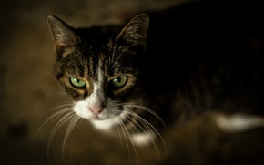 Picture cat, cat, muzzle, look up