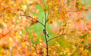 Wallpaper autumn, tree, foliage, Sparrow, maple, bird, Japanese