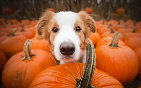 Picture each, dog, pumpkin