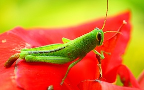 Wallpaper red, Konoha, leaf, eyes, paws, flower, green, animal, exoskeleton, wings, clouse-up, grasshopper, hana, antennae, wildlife, ...