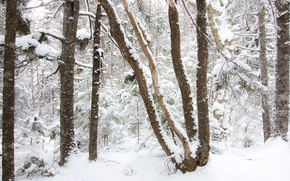 Picture winter, forest, snow, trees