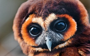 Picture eyes, owl, large, look, owlet