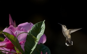 Picture flower, flight, bird, Hummingbird, baby