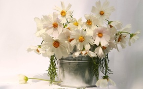 Picture silver, white, flower, nature, flowers, cosmos, beauty, amazing, gift, vase, bouquet, delicate, cosmea