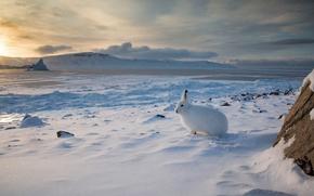 Wallpaper hare, snow, Arctic, winter, Arctic hare, Canada
