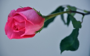 Picture macro, nature, rose, petals, Bud