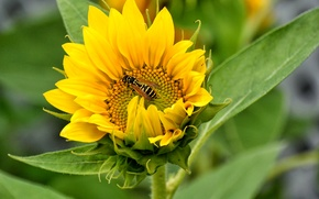 Picture field, flower, OSA, sunflower, petals, insect