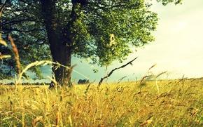 Wallpaper field, tree, Summer, grass