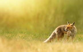 Picture nature, Fox, red, weed, Fox