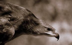 Wallpaper feathers, beak, eagle