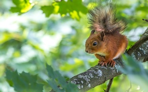 Wallpaper tree, branch, protein, squirrel