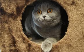 Picture cat, eyes, British