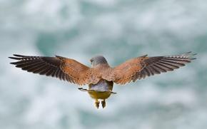 Wallpaper Kestrel, flight, wings, bird