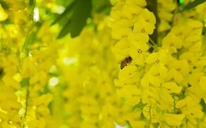 Picture macro, bee, insect, brush, flowers, bobovnik