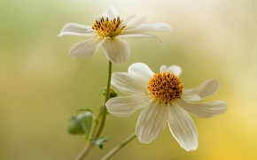 Picture flowers, background, white, dahlias