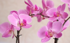 Picture macro, flowers, petals, orchids, Orchid