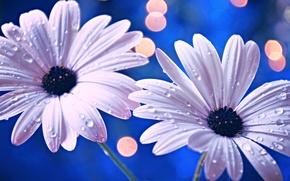 Picture drops, flowers, Rosa, petals