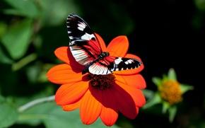 Wallpaper flower, Astra, butterfly