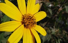 Picture flower, gol, zard, ellow