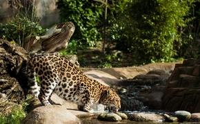 Picture stream, thickets, predator, spot, profile, drink, wild cat, the Amur leopard