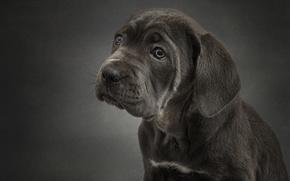 Picture portrait, dog, puppy, Cane Corso