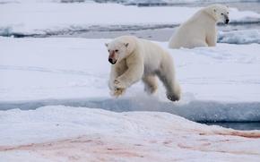 Picture blood, ice, polar bear