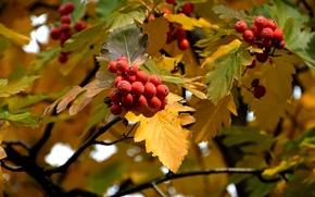 Picture autumn, leaves, berries, Rowan