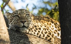 Wallpaper nature, trunk, predator, tree, animal, leopard