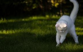 Picture white, grass, cat, the game, Koshak