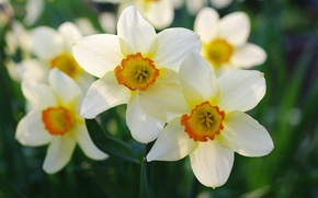 Picture macro, spring, daffodils