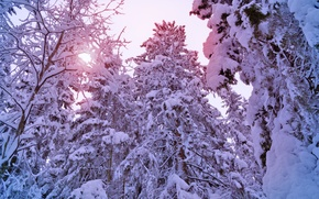 Picture pine, snow, snow, tree, light, winter, pine, trees, sun, tree, ate, light, the sun, forest, ...