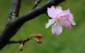 Picture flower, nature, tree, branch, spring, buds