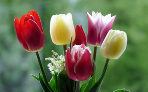 Picture macro, flowers, nature, tulips