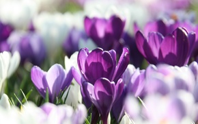 Wallpaper macro, purple, lilac, white, blur, petals, Crocuses, spring
