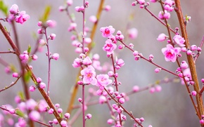 Picture branches, spring, Japan, garden, peach