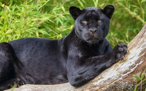 Picture look, predator, Jaguar, wild cat, black Panther