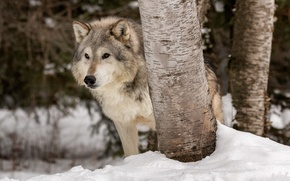 Wallpaper predator, the orderly forest, snow, Tundra wolf, winter, wolf, trees