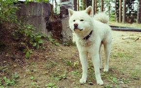 Wallpaper dogs, white, nature, Akita inu
