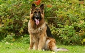 Picture Dog, friend, German Shepherd