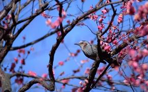 Picture animals, Wallpaper from lolita777, pink flowers, bird, birds, flowering tree, blue sky, cute, spring