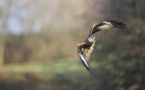 Wallpaper bird, wings, beak, flight, eagle, hawk