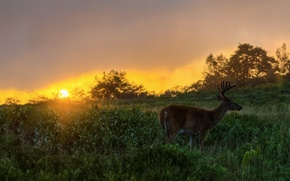 Picture grass, the sun, sunset, the evening, deer, the bushes