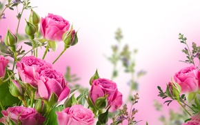 Picture flowers, pink roses, petals, bouquet, buds