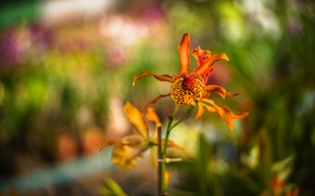 Picture macro, flowers, orchids, orange, spotted, Wallpaper from lolita777