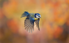 Picture background, bird, flight, razmytost, tit