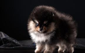 Picture fluffy, puppy, Spitz, baby