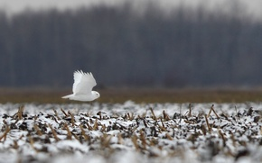 Picture grass, snow, flight, wing, grass, flying, snow, bokeh, bokeh, wing, snowy owl, Snowy owl